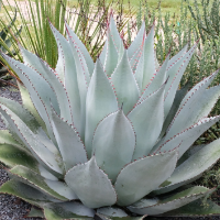 Agave (Century Plant) - Interspecific Hybrids