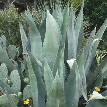 Agaves - Non Variegated Cultivars