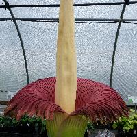 Amorphophallus Titanum Flowering