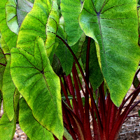Colocasia (Elephant Ear)