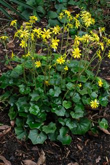 Farfugium japonicum var. formosanum 'Green Tea' in flower