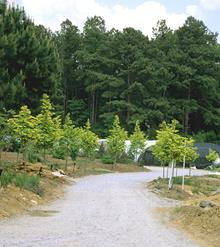 Metasequoia Ogon allee recently planted - 2001