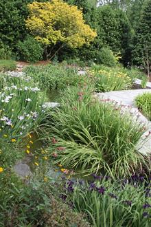 Sunken rain garden, water iris in flower - 2010