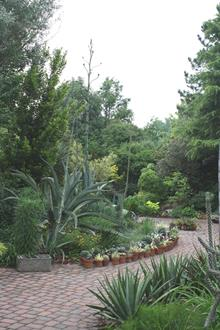 Southwestern patio garden, looking east with Agave flowering spikes