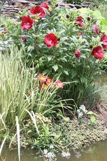 Sunken rain garden floating planter with hibiscus and hemerocallis