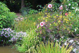 Sunken rain garden combo with Hibiscus and Hemerocallis