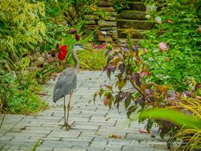 Sunken rain garden with blue heron