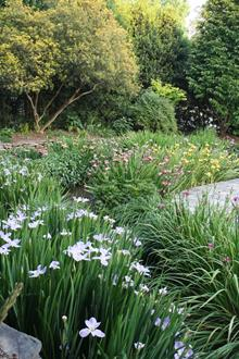 Sunken rain garden with Louisiana iris in flower