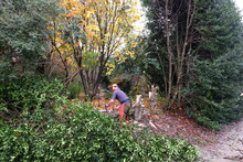 2016 - Crevice garden grading prep - Jeremy Schmidt removing 300' long holly hedge
