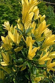 Ilex latifolia Gold and Variegated