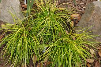 Ophiopogon japonicus 'Monkey Shine'